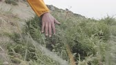 探検家 : The guy runs his hand through the mountain bushes