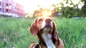 гончая : Beagle dog scratching body on green grass outdoor, the dog playing in the park in the evening.