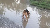 гончая : Playful beagle dog walking into the dirty puddle, a cute beagle dog playing in the park.