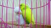 white and yellow canary bird in cage