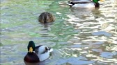 утка : ducks floating in the lake Стоковые видеозаписи