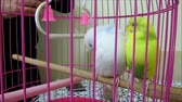 мерный стакан : white and yellow canary birds in cage, Стоковые видеозаписи