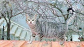 sibiř : the cute cat that walks in the roofs,