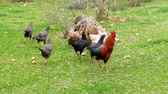 мерный стакан : Fed chickens and roosters in the yard freely, Стоковые видеозаписи