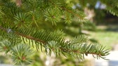 agulha : coniferous trees close-up, pine tree.