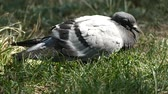 sick and tired wild pigeon,