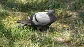wild pigeons feeding in the park,