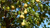 veren : natural pears that begin to ripen, pears swinging on the tree, pear tree full of fruit, Stok Video