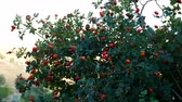 red rosehip berries, which begin to ripen, natural rosehip tree and ripening rosehip berries,