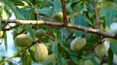 almonds in the tree, crusted almonds that begin to dry, Stock Footage