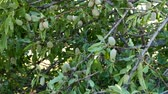 frutas secas : almonds in the tree, crusted almonds that begin to dry, Archivo de Video