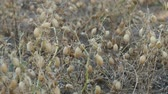 pois chiches : dry chickpeas approaching harvest time,