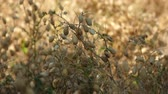 The chickpea harvest time has arrived, its time to harvest chickpea in the field,