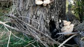 поганка : mushrooms in willow bark, tree fungus, poisonous mushrooms, toadstool, Стоковые видеозаписи