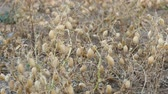 chickpea plant at harvest time, chickpea harvest at field,