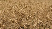 hazelnoot : The chickpea harvest time has arrived, its time to harvest chickpea in the field,
