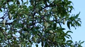 sweet almond tree, crusted almonds starting to dry,
