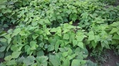 cins : fresh green beans planted in the garden, fertile beans american atlantis beans,