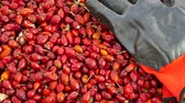 fonte : rosehip and gloves, to gather rose hips is a very laborious and difficult work.