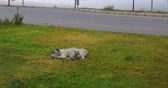 matky : mother dogs and puppies lying in the street, stray dog and puppies