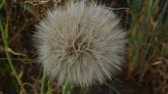 дующий : devil feather, dandelion plant, dandelion feathers Стоковые видеозаписи