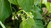 肥沃 : fresh green beans planted in the garden, fertile beans american atlantis beans,