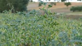 green chickpeas in the field. Filmati Stock