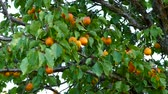 natural organic ripe apricots on the tree.
