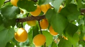 colheita : natural organic ripe apricots on the tree.