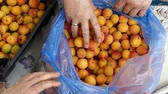 apricot tree, ripening apricots, natural apricots, apricots among leaves. Filmati Stock