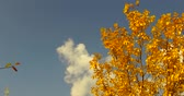 yellowed leaves in autumn trees, cloudy sky and yellowed leafy trees in autumn,