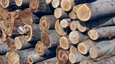 construcción de carreteras : cut poplar trees, cut poplar trees for timber, lumber trade, poplar timber for construction,