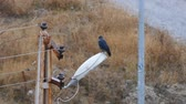 crow, black crow, standing on lamppost