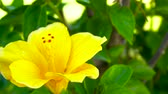 yellow flower : Linda Mirabilis jalapa amarela, slider shoot Stock Footage