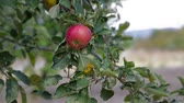 ham : Red Apple tree branch Stok Video