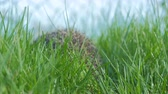 ouriço : Sweet hedgehog in nature background. The hedgehog runs into green grass Natural light. Close up view. 4k