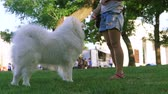 guloseima : Woman is feeding a dog of the Samoyed breed in the park. Mistress gives dainty to french bulldog in the park - reward for training - close up. Slow motion.