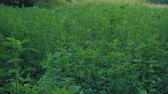 fitoterapia : Medicago sativa, alfalfa, lucerne in bloom - tilt up tilt down. Alfalfa is the most cultivated forage legume in the world and has been used as an herbal medicine since ancient times. Stock Footage