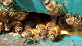 bilinen : Apiary. Bees working, bring floral nectar and pollen to hive, create sweet honey. Macro footage.