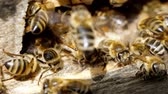entomologia : Apiary. Bees working, bring floral nectar and pollen to hive, create sweet honey. Macro footage.