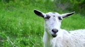 sela : Curious happy white goat grazing in park. Portrait of funny goat. Farm animal looking at camera.