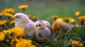 objevit : Little yellow chickens sitting on lawn among dandelions, moving heads and pecking grass. Beautiful and adorable chicks.