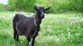 koza : Curious happy black goat grazing in park. Portrait of funny goat. Farm animal looking at camera. Wideo