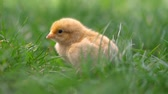 cabeludo : Little yellow chicken sitting in green grass, moving heads and pecking grass. Beautiful and adorable chick.