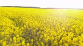 agrarian : Aerial above view of canola rapeseed field blossoming. Drone flying circling over field. Yellow background. Agricultural countryside spring landscape