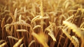 búza : Yellow ripe ears of barley plants swaying by wind in wheat field. Harvest, nature, agriculture, harvesting concept.