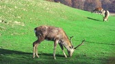Young deer graze on green lawn, spring season. Cute animals on the farm. Slow motion.
