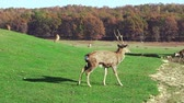 Wild deer nips grass in a green meadow. Nature, beautiful animals live in their habitat. Wideo