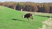 Young deer graze on green lawn, spring season. Cute animals on the farm.