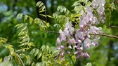 wisteria : Pink Wisteria trellis. Taken in the spring of Japan. Stock Footage